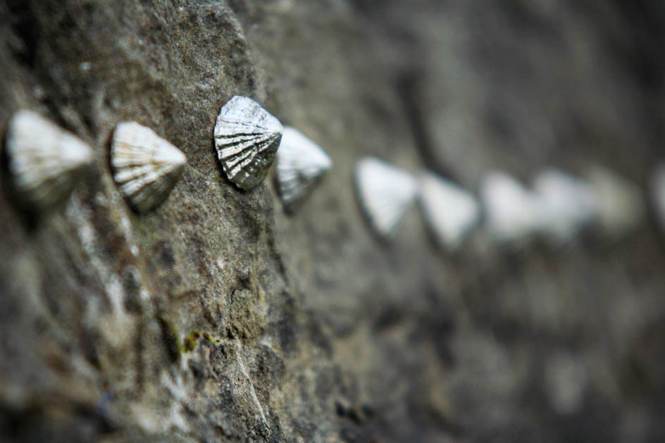 photo of sliver limpets stuck to a wall